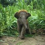 Маленький слоненок, Индия